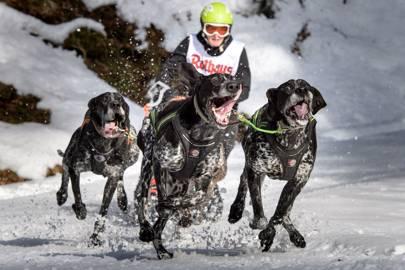 International Dog Sled Race At Todtmoos