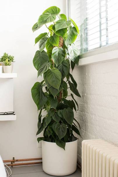 And Even Hidden Health Benefits Philodendrons Are Green Giants That Easy To Live With Help Enrich The Air In Your Home Says De